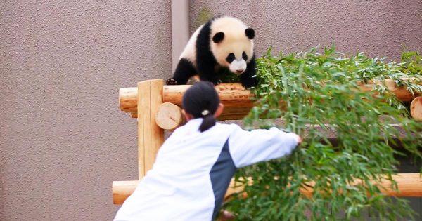 【和歌山】「平和すぎる世界」遊んで欲しいパンダの赤ちゃんと、掃除をしたい飼育員さんのバトルが癒されると話題に笑