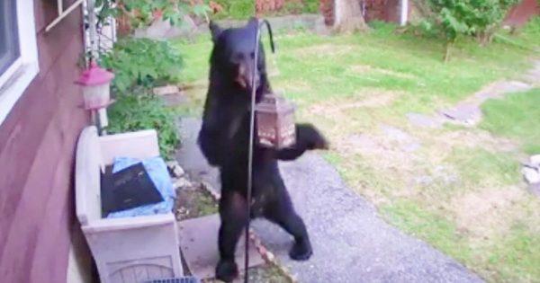 裏庭にやってきた熊を追い返した勇敢な犬が話題に!