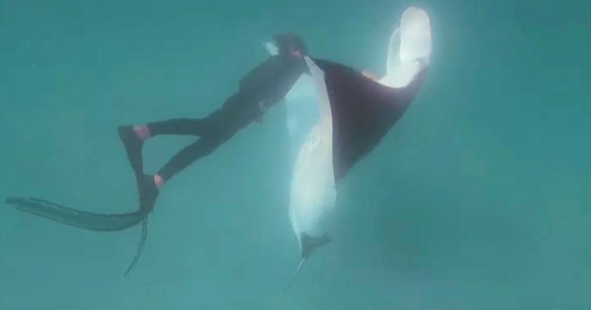 ダイバーに助けを求め近づいてきたマンタ。ダイバーは何度も潜り釣り針を取ってあげた。