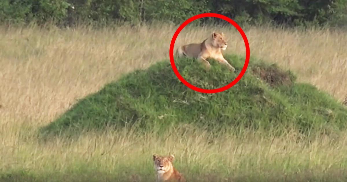 小高い場所でくつろいでいたライオンのおっちょこちょいな姿が話題に笑
