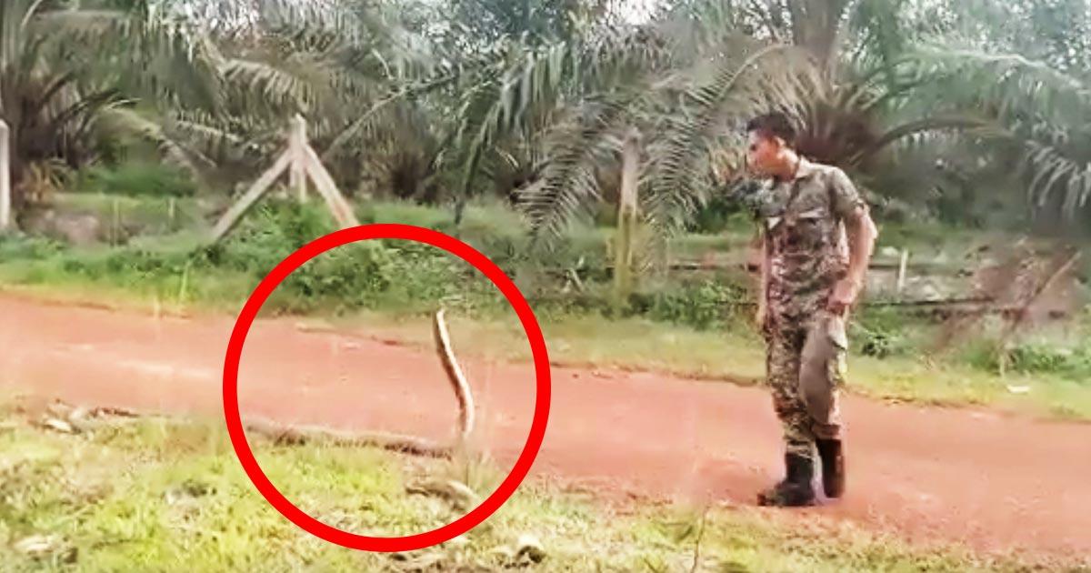 【神技】マレーシアの兵士が毒のあるキングコブラを素手で捕まえる技術がすごい!思っていたのと全然違った!