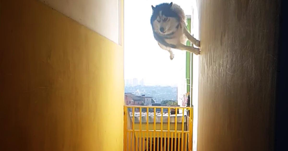 「忍者犬だ!」名前を呼んだら壁を走り、驚異的ジャンプで現れた犬がかっこよすぎると話題に!