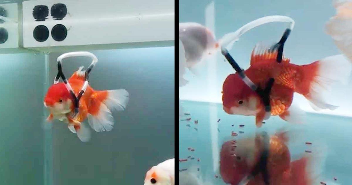 障害でうまく泳げない金魚のために専用の「車椅子」を作ってあげた男性が話題に!上手に泳げるようになった姿に感動!