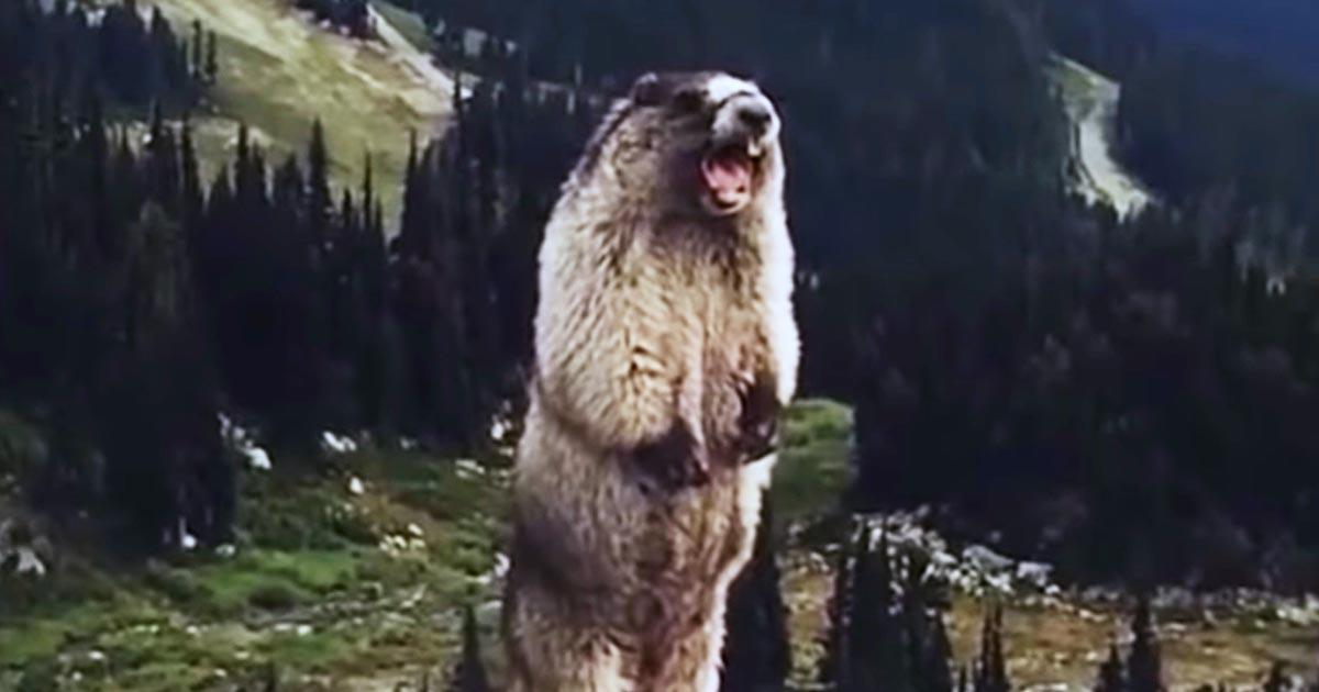 「うわあああああ!」おっさんみたいな鳴き声で叫ぶマーモットが面白すぎる笑