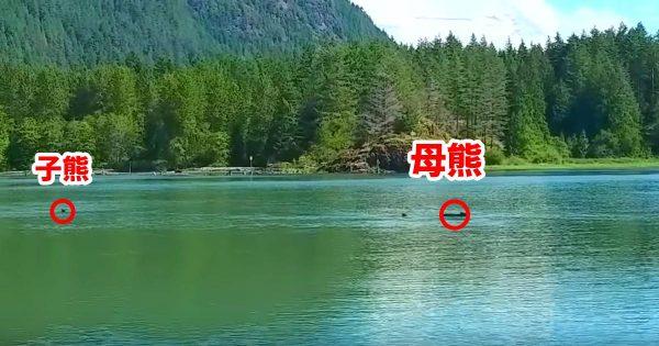 熊の母子が広大な湖を渡っている途中、子供が流されていってしまう!母熊の決死の救助に涙