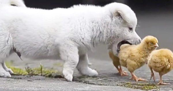 「一緒に遊んでよー!」ヒヨコと遊びたすぎる子犬と、そうでもないヒヨコが可愛すぎる!