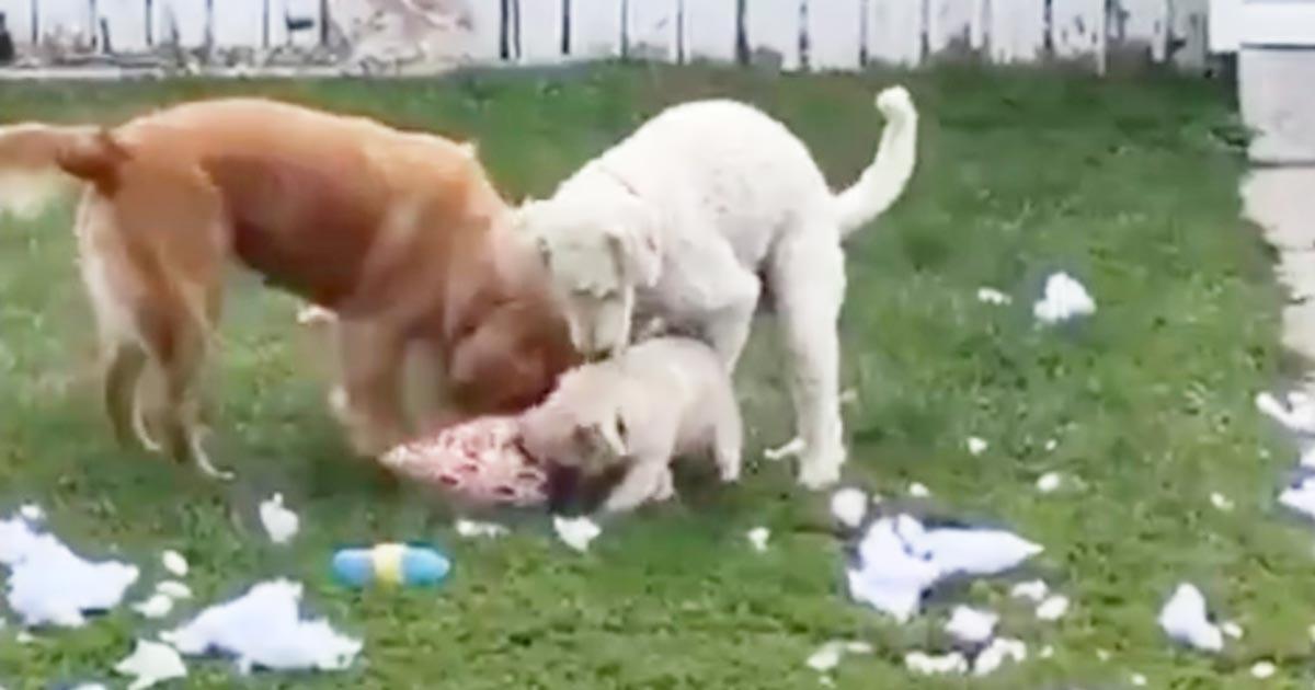 3匹でクッションを噛みちぎって遊んでいた犬たち。飼い主さんにバレた時の反応が可愛すぎる笑