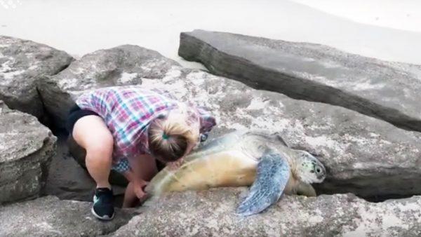 【神対応】海岸で岩にキツく挟まった巨大ウミガメを発見した若いカップルの行動が絶賛される!