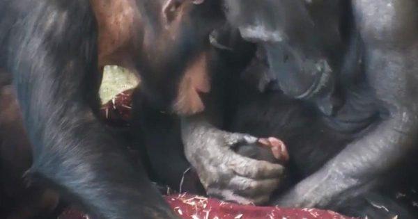 赤ちゃんの誕生を喜ぶチンパンジーのお母さんの取った行動が尊いと話題に!