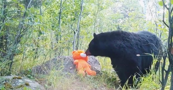 「なんて可愛いんだ!」テディベアと遊ぶ野生の熊が話題に!