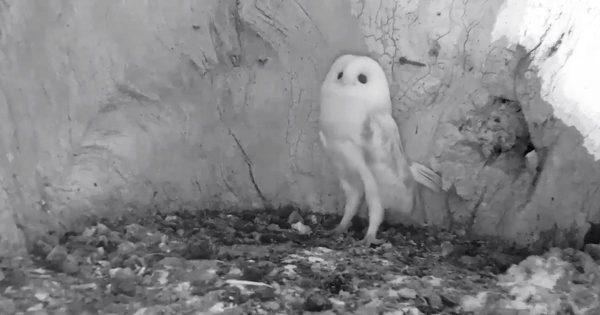 生まれて初めて雷の音を聞いたフクロウの赤ちゃんの反応が反則級の可愛さだと話題に!