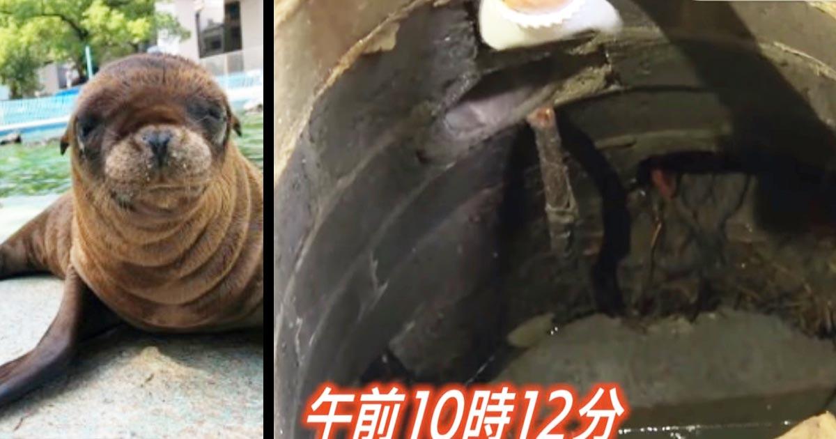 【大阪】「諦めていた。本当に良かった!」行方不明だったアシカの赤ちゃん、6日ぶりに下水道の中で無事発見される!