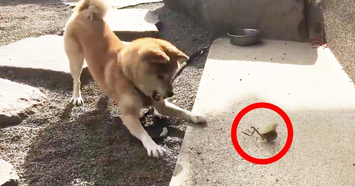 犬が騒がしいなぁと思ったらカマキリと戦ってたと話題に!ちょっと犬が押されてる笑