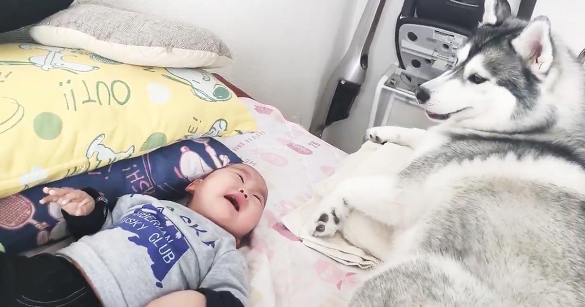 看病のつもりで寝ている赤ちゃんの顔面を舐めたら、ギャン泣きされたハスキー犬の行動が可愛すぎると話題に!