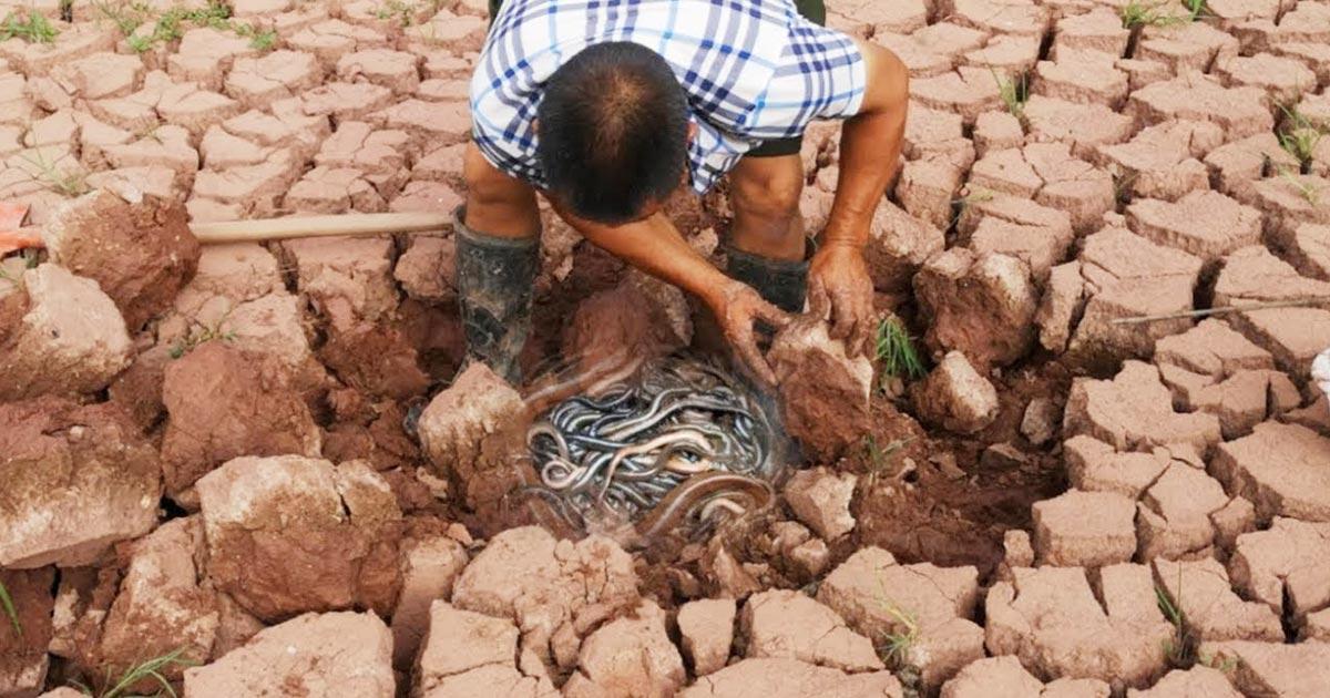 カラカラに干からびた地面をスコップで掘ったら大量の魚が獲れた!