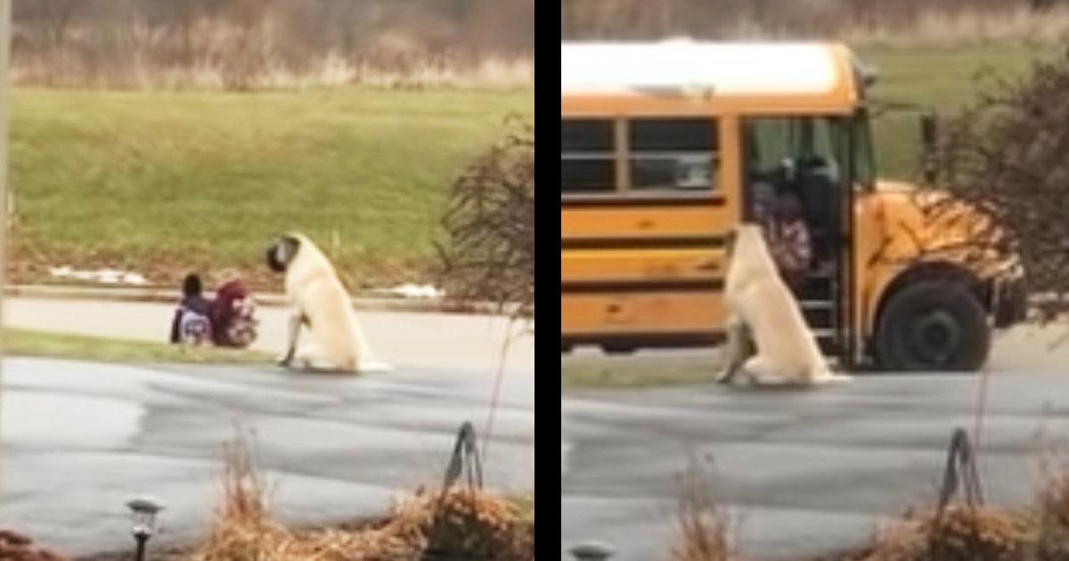 毎朝スクールバスを子供たちと一緒に根気強く待ってあげる犬。見送りが終わった時の様子が可愛すぎると話題に!