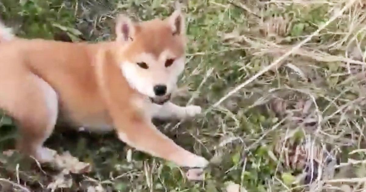 生まれて初めて屋外の土を踏んだ柴犬の子犬の反応が可愛すぎる!