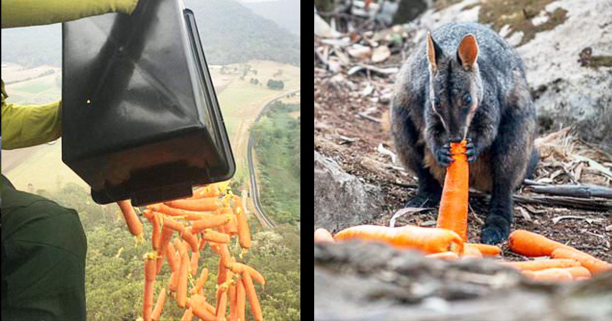 オーストラリアの森林火災で飢餓状態の野生動物のため、政府ヘリが数千kgの食糧を投下し話題に!