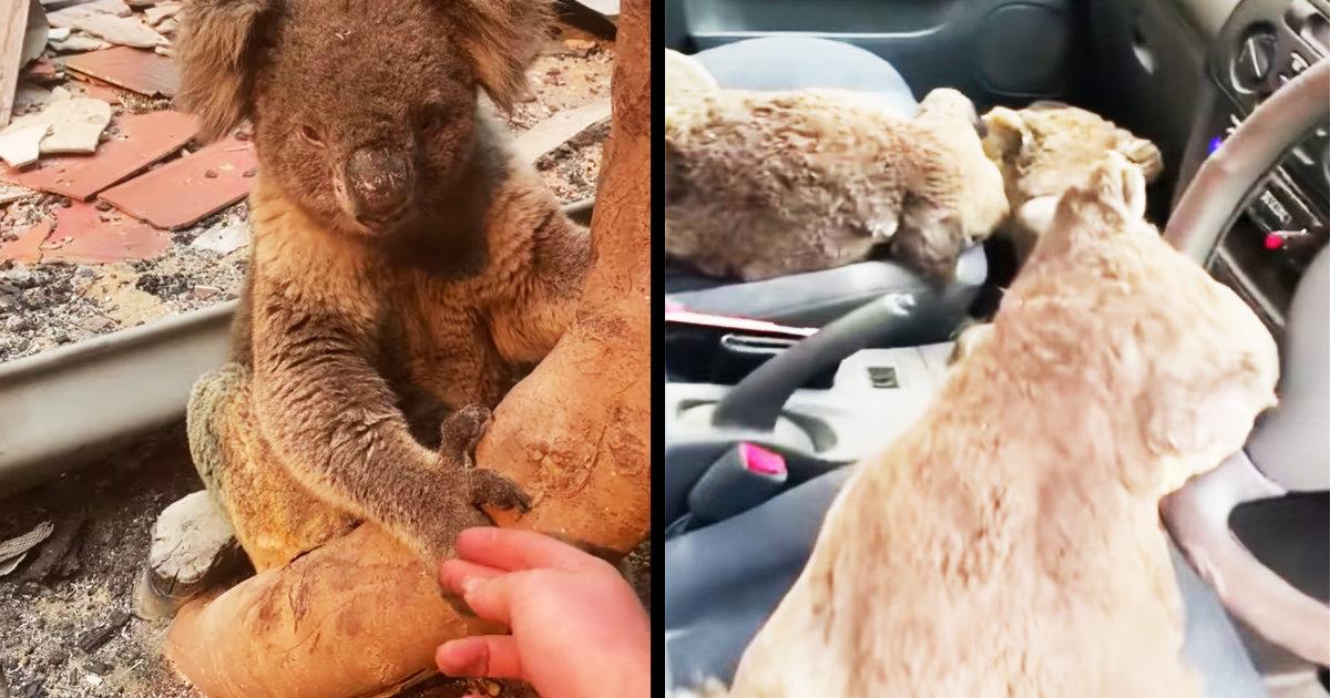 「本当の英雄だ」オーストラリアの森林火災で、大量のコアラを車で救助した2人の10代の若者が話題に!