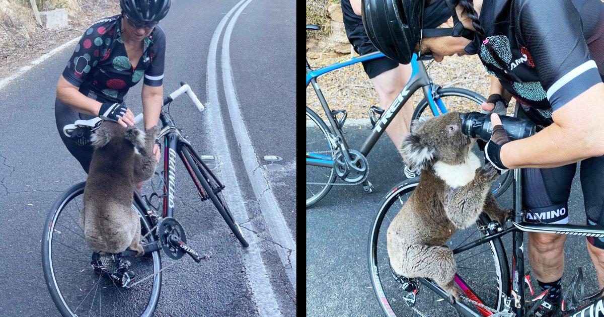 「お願い助けて。。」オーストラリアの森林火災で、焼け出されたコアラが助けを求めてきた!水をいつまでもゴクゴク飲む姿が世界中で話題に!