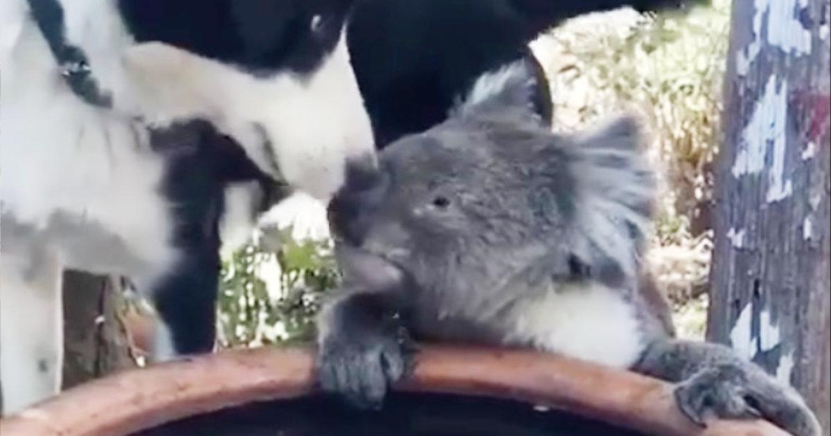 【オーストラリア】喉を乾かせ庭にやってきたコアラを労わる犬が話題に!
