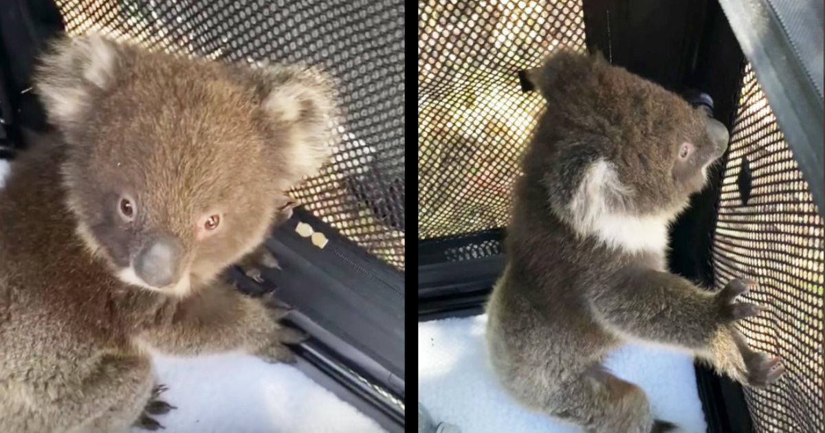 オーストラリアの森林火災で被災したコアラの赤ちゃんと母親が再会!声を出して大喜びする姿に心打たれる