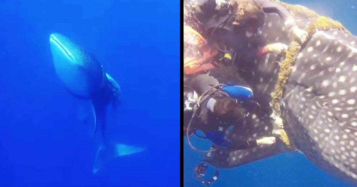 「苦しいです助けてください。。」極太のロープに締め付けられ苦しそうなジンベエザメが助けを求めてきた!「どれだけ長い間ロープが絡んでいたんだろう」