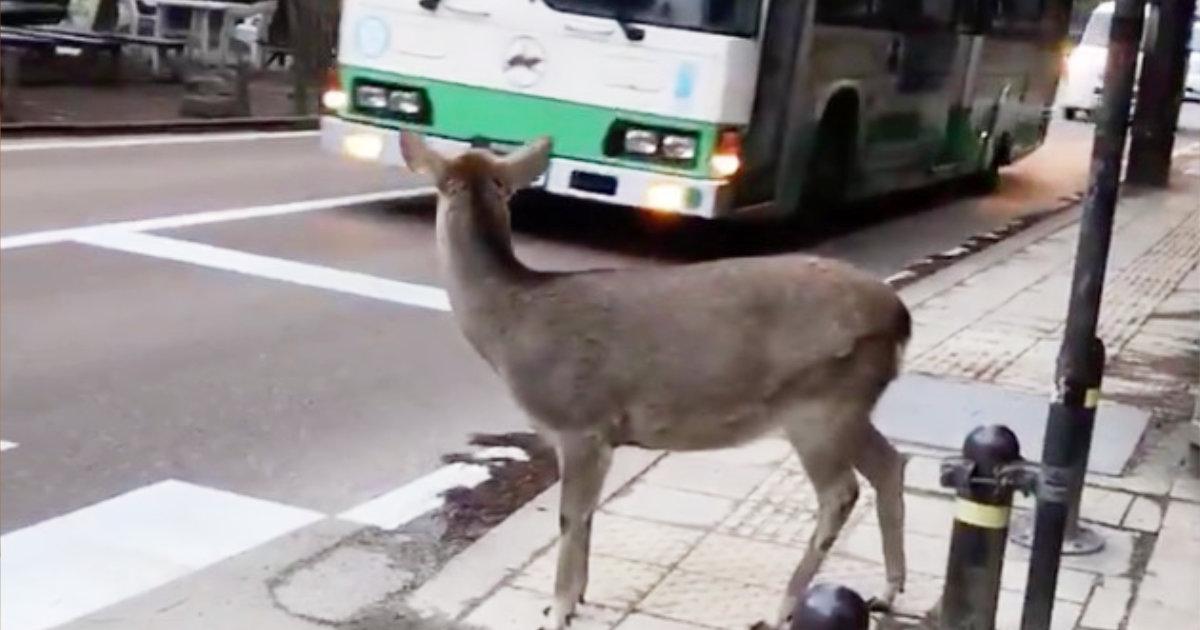 【奈良】鹿「通りますよ」車「どうぞ」鹿「おおきに」礼儀正しい鹿の行動が話題に!