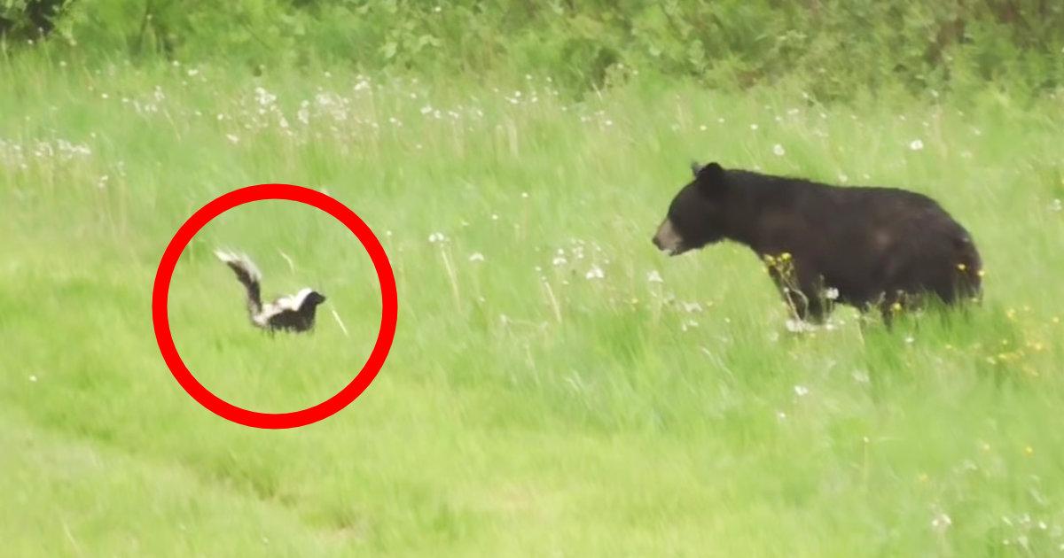 スカンクに一発でやられる熊が話題に!噂には聞いていたけど、実戦では初めて見た!