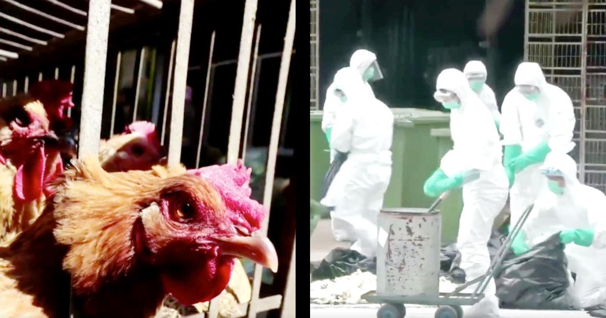 中国・武漢の近くでヒトにも感染し重い症状を引き起こす「鳥インフルエンザ」の発生が確認され物議!「不幸は重なるものなんですね、、」