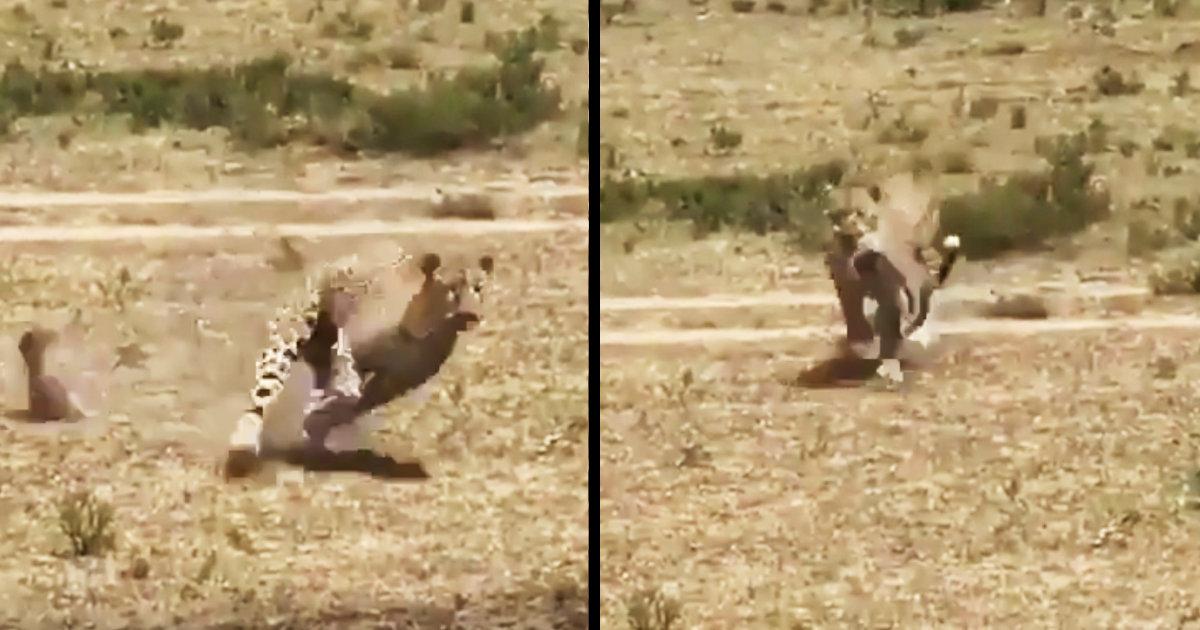 ヒョウに咥えられ連れ去られたイボイノシシの赤ちゃん。ダメだと思った瞬間、強すぎるママが現れ救出!