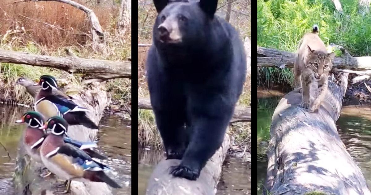 そこは森の住人たちの生活の道。定点カメラで森の一本橋を撮影したらリラックスした自然体の野生動物たちの姿が垣間見れた!