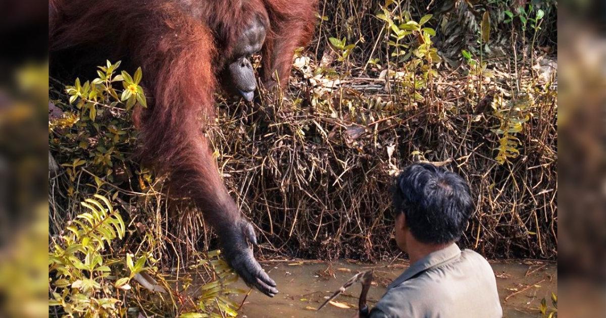 ヘビのいる川に落ちてしまった人間を心配した野生のオランウータンの行動が世界中で話題に!