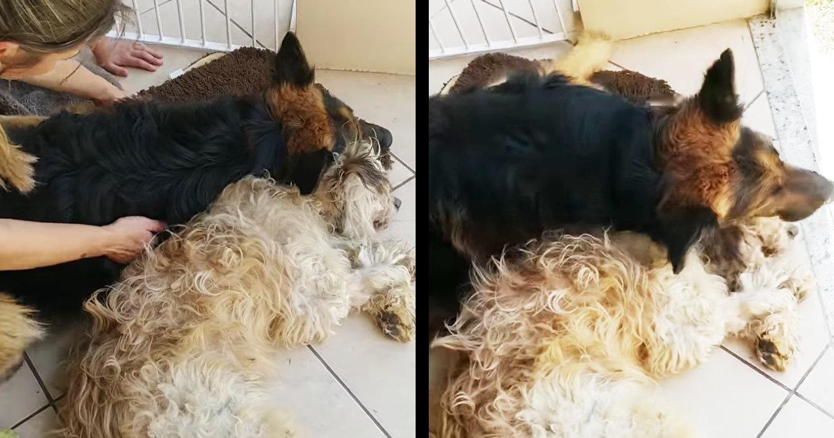 「僕を置いていかないで」寝ている親友犬が、死んでしまったと勘違いした犬の反応が泣けると話題に!