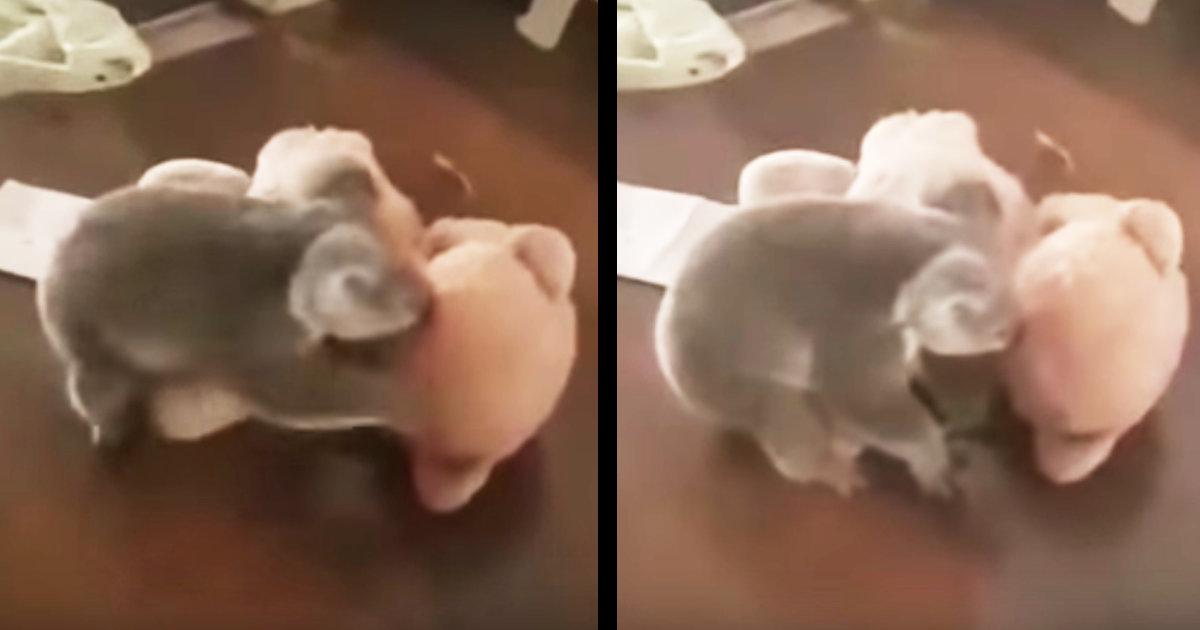 「これは遊んでいる訳じゃない」オーストラリアの森林火災で救助されたコアラの赤ちゃんにヌイグルミを与えたら取った行動が物議!