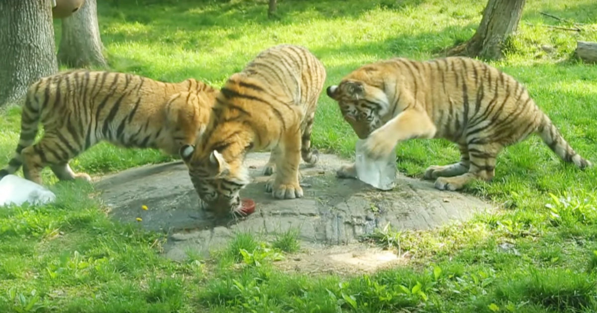 NYの動物園の咳の症状のトラが新型コロナ陽性!他にもトラやライオンなど5頭に呼吸器疾患の症状!