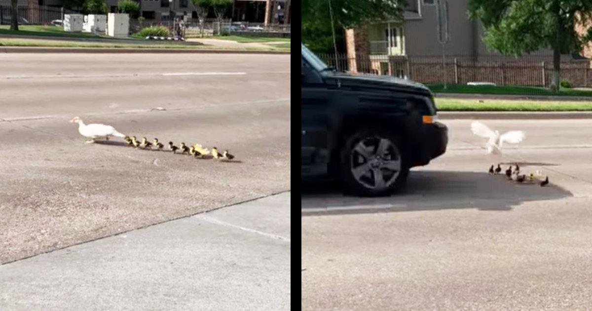 道路を横断していたアヒルの親子。そこにスピードを出した車が通りかかる!