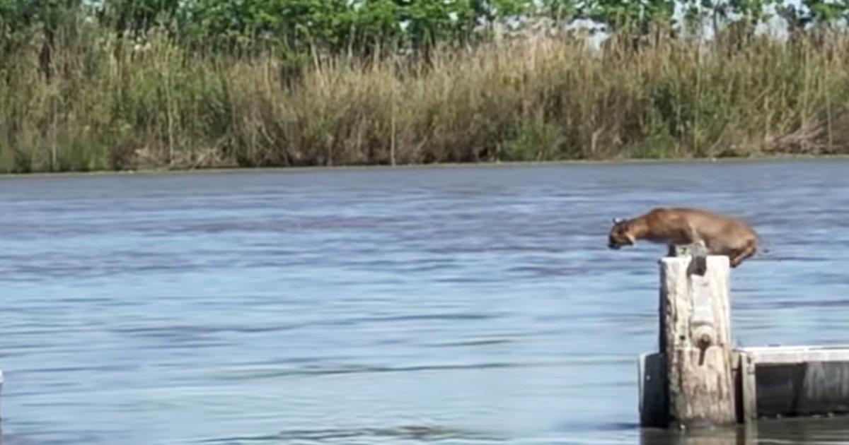 野生のボブキャットがいとも簡単に川を飛び越えてしまう動画が話題に!