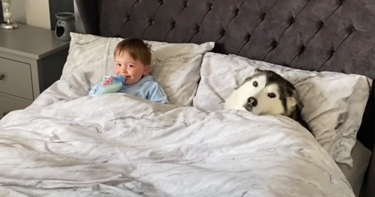 「ベッドから出なさい」と言っても頑なに拒むハスキー犬。最終的に可愛すぎることになってしまい話題に!