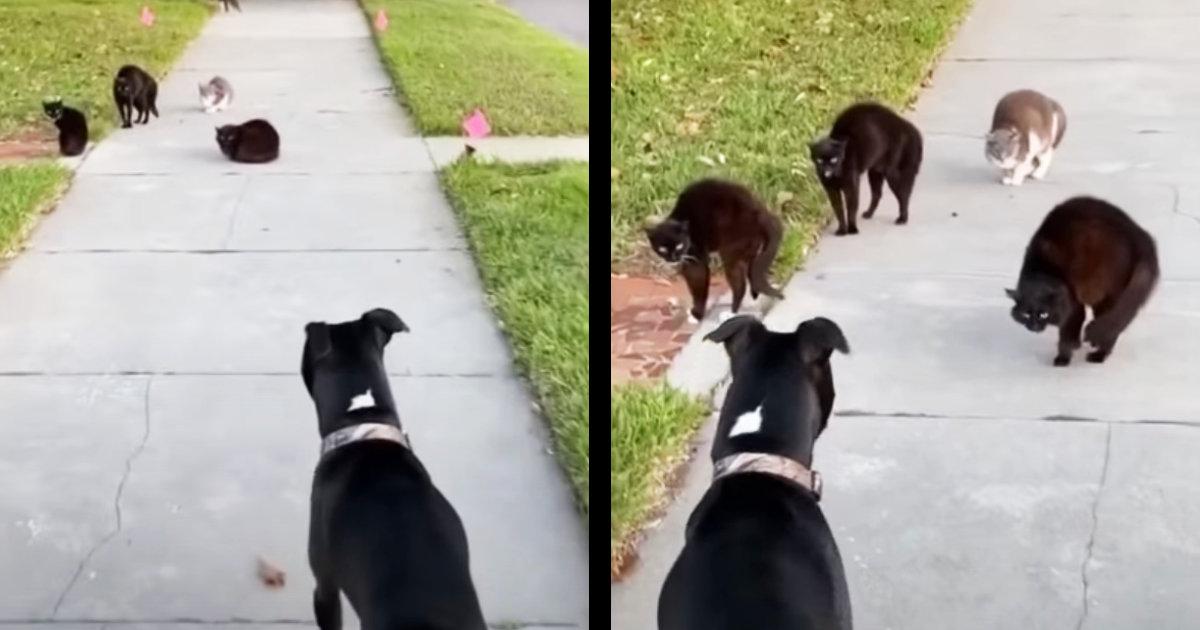 散歩中の犬が猫のギャング集団に遭遇!猫たちが完全にシンクロしてスゴい行動に!