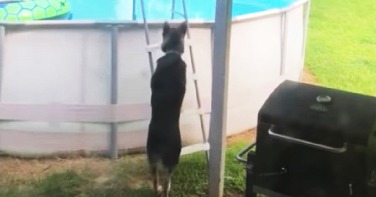 プール遊びが好きすぎるジャーマンシェパードが裏庭でやっていた行動が話題に!