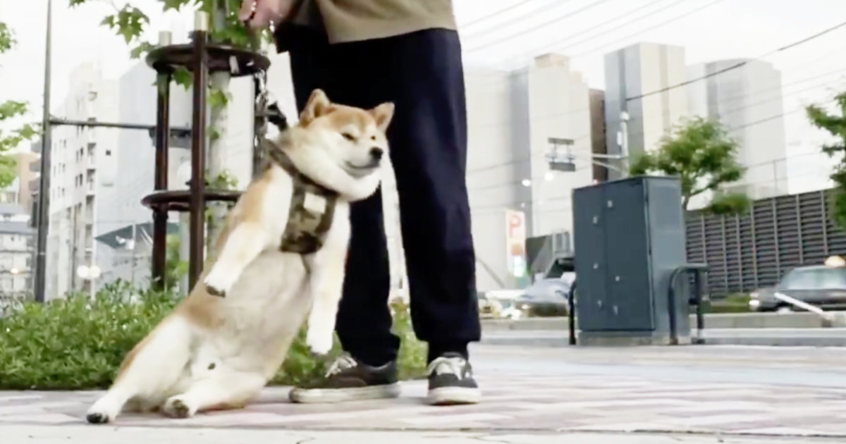 絶対帰らないマンになってしまった犬が可愛すぎると話題に!完全に脱力モードになっている!