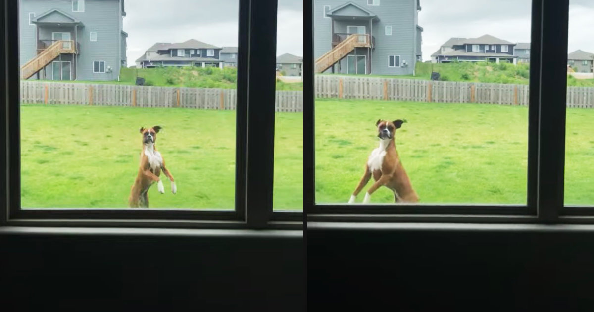 飼い主さんの注意を引くために窓の外でボクサー犬がやっていた事が面白いと話題に!