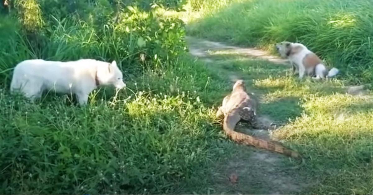 巨大トカゲに吠えまくっていた犬。しかしトカゲの凄い一発で意気消沈してしまう