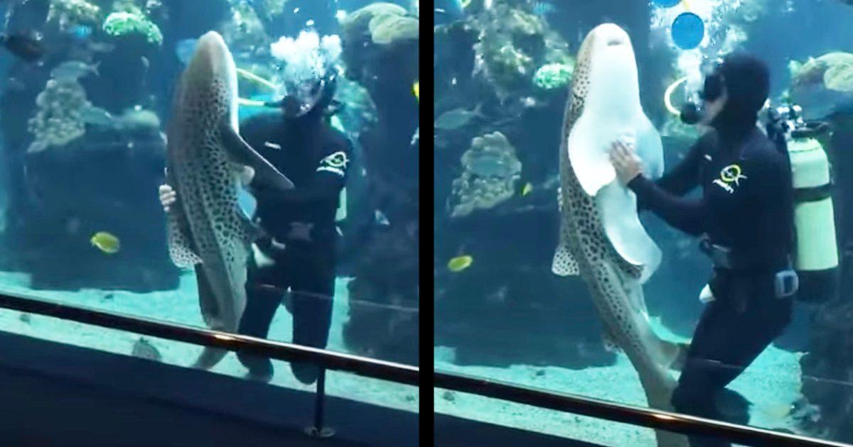 飼育員さんに犬のように懐いてくるトラフザメが可愛すぎる!「水中犬だ!」「前世は犬だったに違いない」などの声!