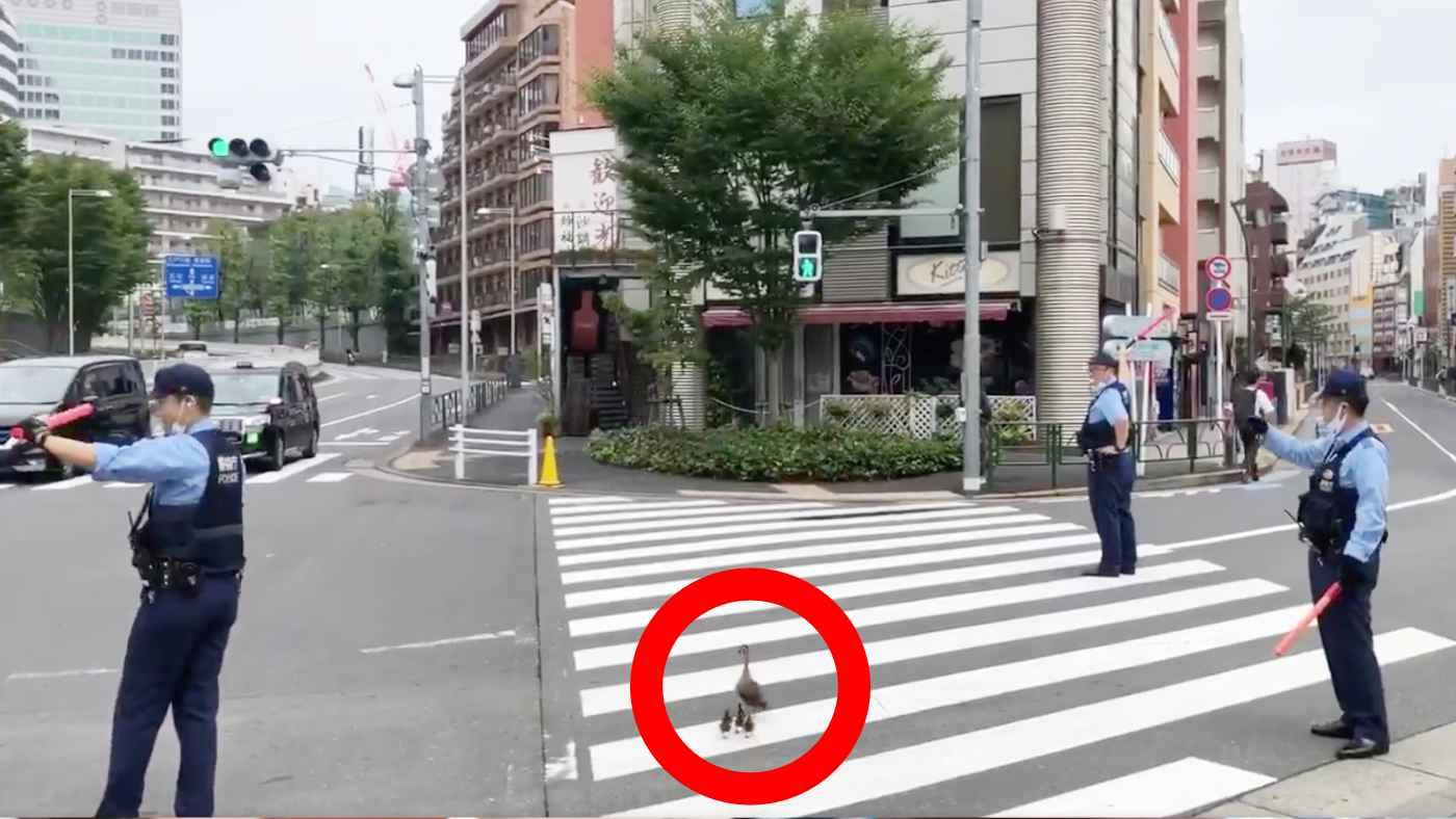 大都会、六本木の路上にカルガモの親子が!複数人の警察官にまるでVIPのような扱い!