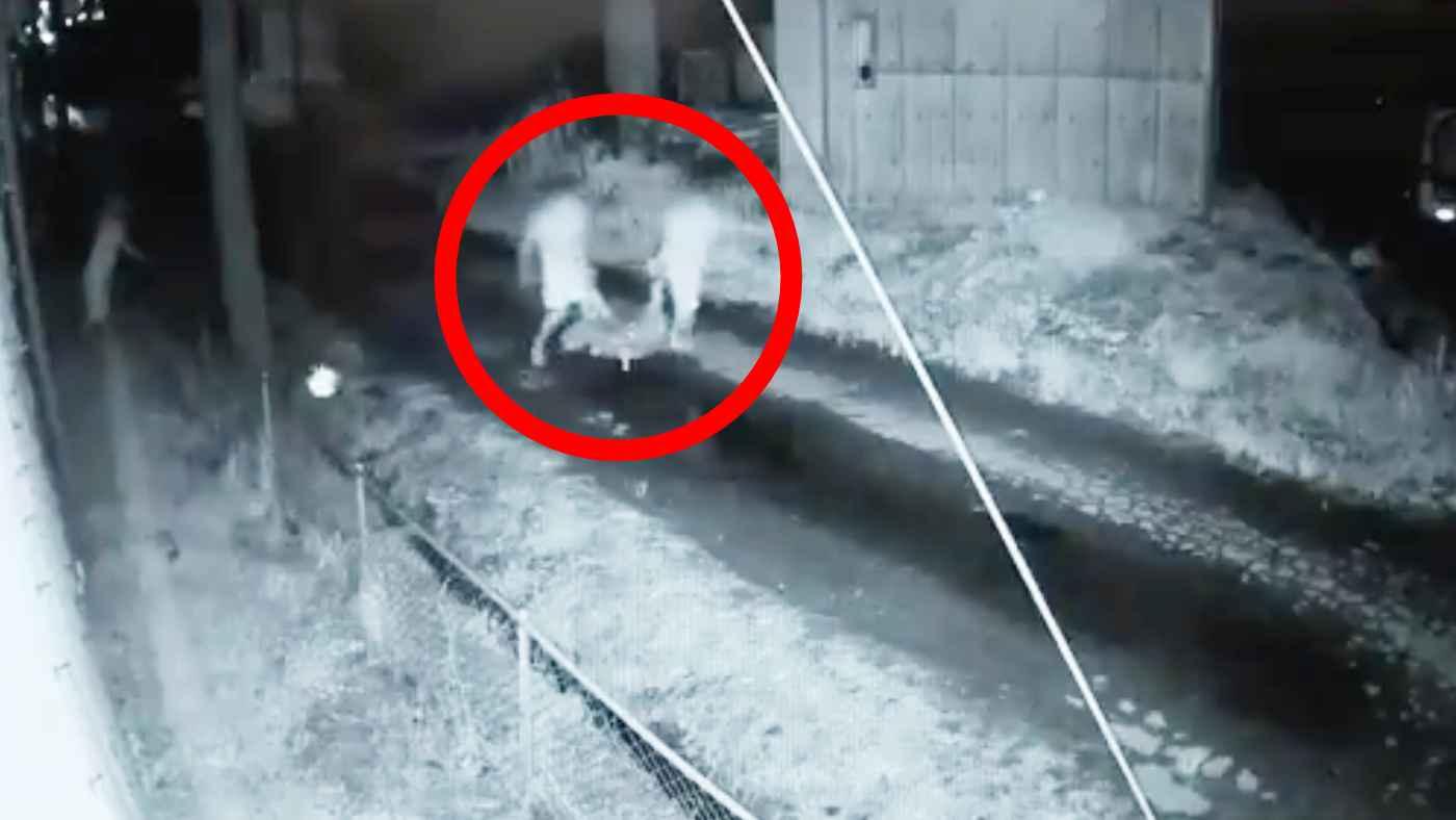【栃木】子牛6頭を連れ去る3人組が防犯カメラに映り驚きの声!