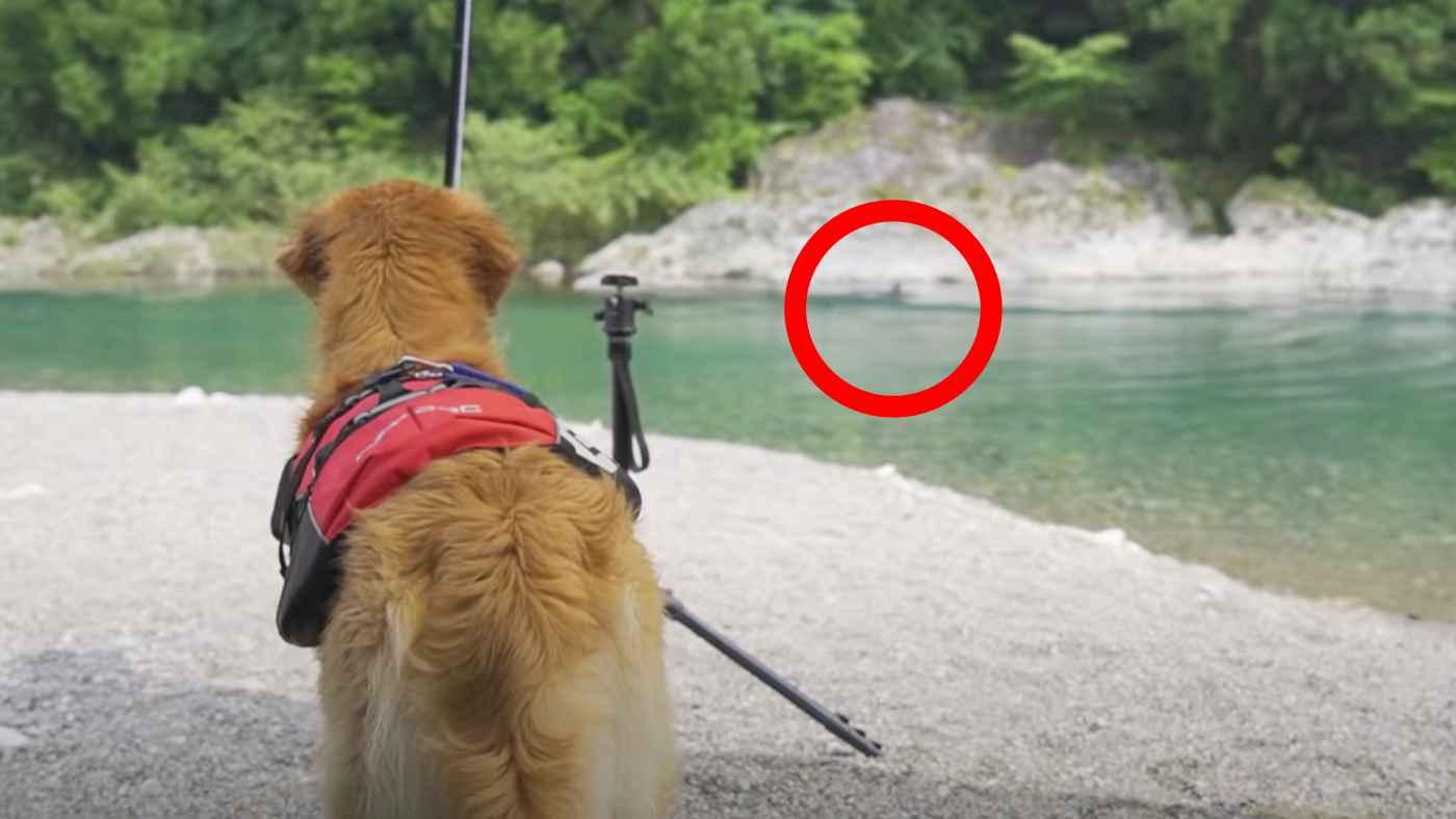 川に泳ぎに行った飼い主さんを心配したゴールデンレトリバーの行動が泣けると話題に!