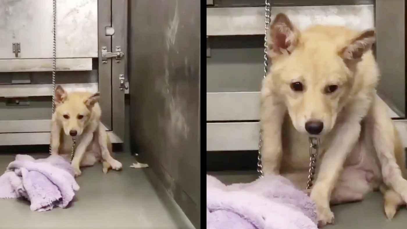 【日本】人間を拒絶していた野良犬が、暖かい家族に迎え入れられ心を開くまでの動画が話題に!