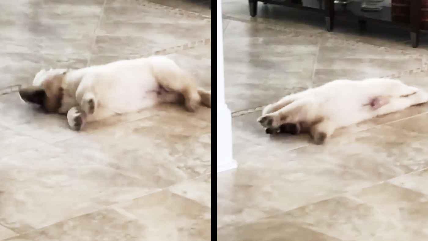 無我夢中で一人遊びしていたゴールデンレトリバーの子犬。見られていたことに気づいた時の反応が可愛すぎると話題に!